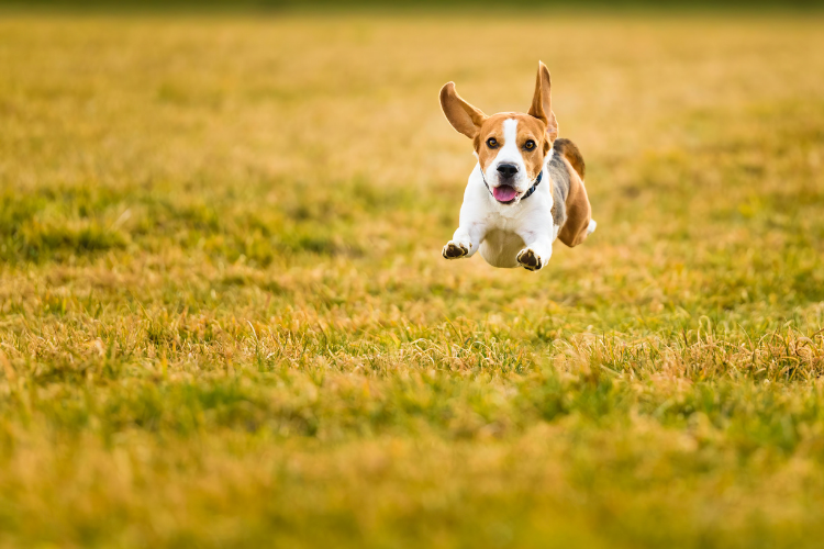 Dog running fast and in the air