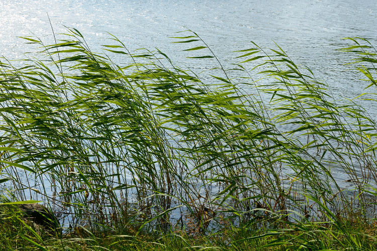 Strong wind blowing reeds